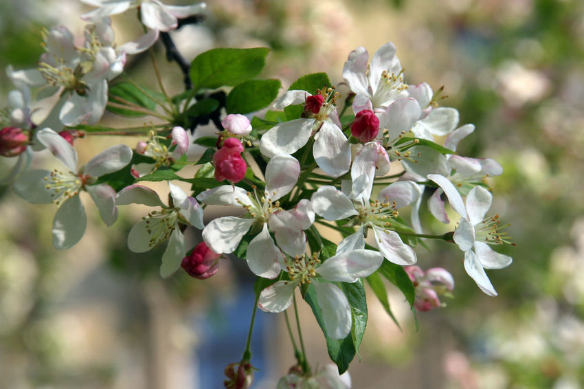 Branch Beauty In Nature Beginning Bloom Blooming Blossom Earliest Easter Flora Flower Flowering Freshness Fruit Garden Growth Nature Plant Purity Seasons Serenity Softness Spring Tree