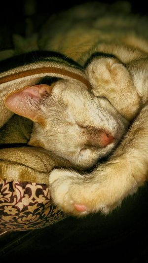 Cat Cat Sleeping Cat Under Blanket Sleeping Cat Animal Themes Close-up Nature Pets Domestic Animals One Animal Lazy Lazy Cat Covered Up Cat Napping Night Time Keeping Warm Animal Animal Photography Cat Lovers Feline Light And Shadow Hidding Cat Eyes Closed  Dreaming Sweet Dreams