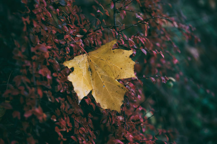 Close-Up Of Yellow Maple Leaves