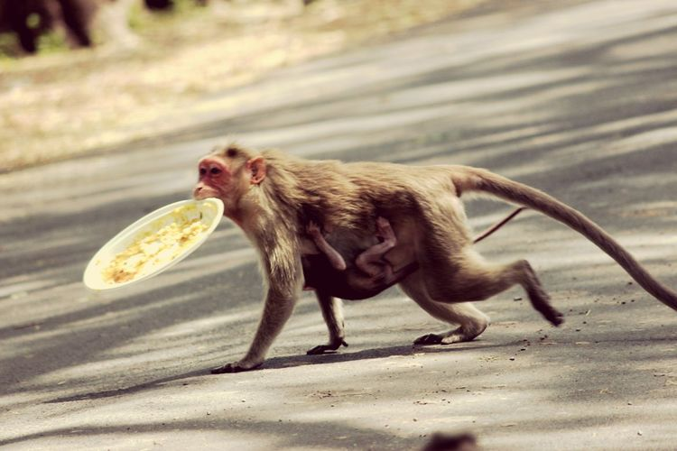 Monkey and infant with leftover plate on street