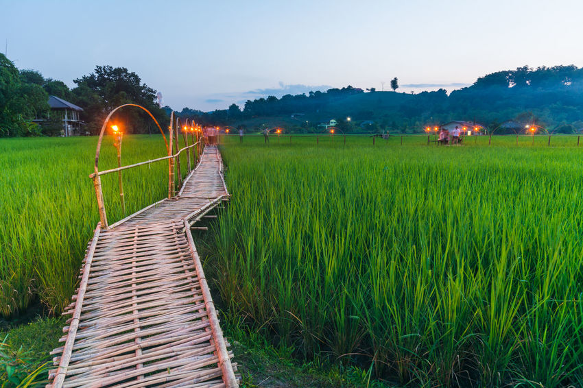 Bamboo Bridge in Paddy Field, Chiang Rai, Thailand. Agriculture Bamboo Bridge Bamboo Bridge In Paddy Field, Chiang Rai, Thailand. Beauty In Nature Clear Sky Crop  Farm Field Grass Grassy Green Green Color Growth Illuminated Landscape Lush Foliage Nature No People Outdoors Paddy Field Rural Scene Scenics Sky Tranquil Scene Tranquility
