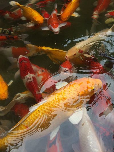 fancy carp fish in pool Multi Colored Colorful Color Pool Animal Fancy Carp Carp Fish Carp Fish Animal Themes High Angle View Water No People Carp Large Group Of Animals Day Nature