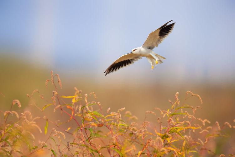 高邮湖边惊现5只黑翅鸢
