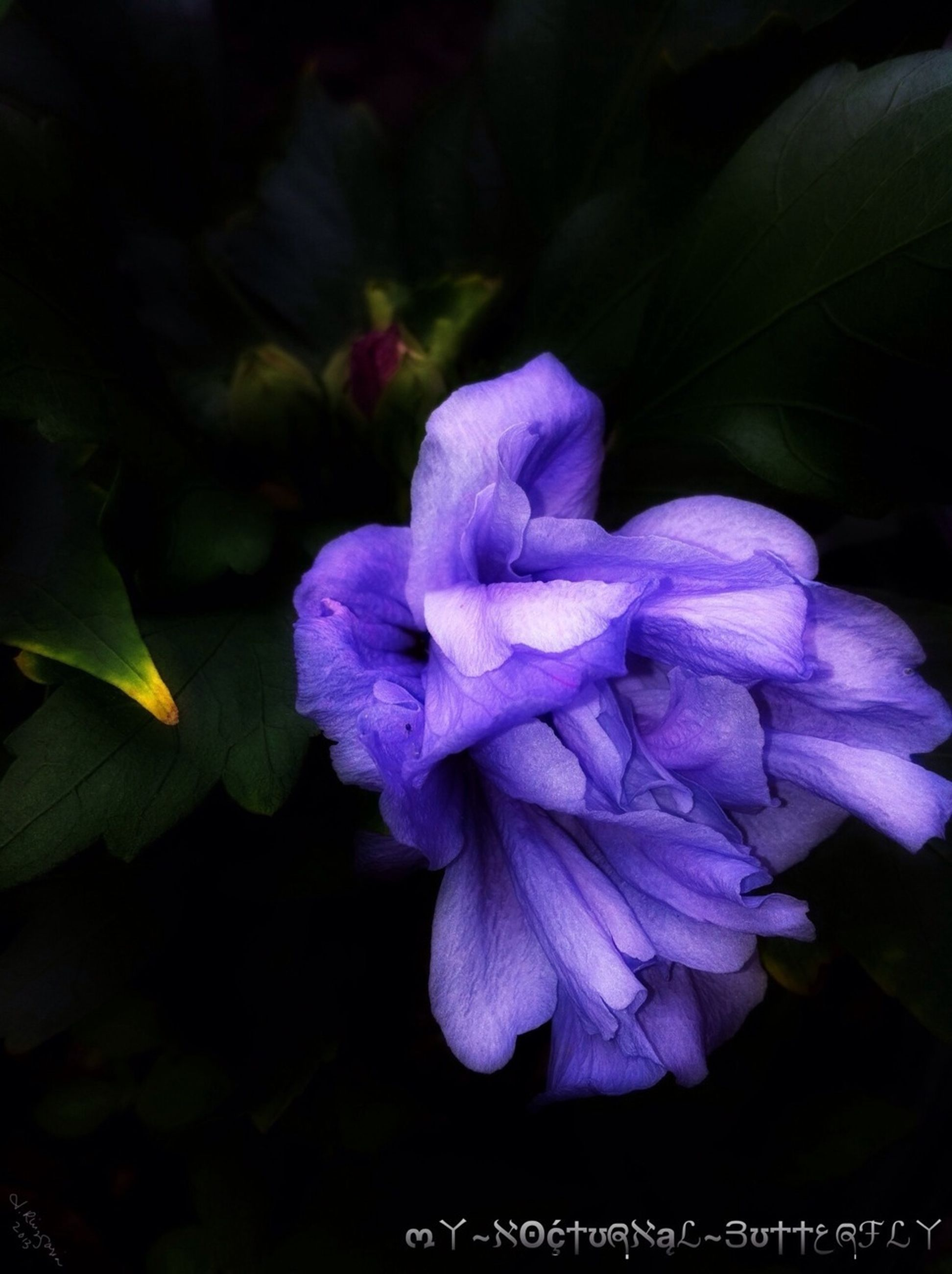 flower, petal, purple, freshness, growth, beauty in nature, fragility, flower head, close-up, nature, plant, leaf, blooming, focus on foreground, night, in bloom, black background, no people, blue, park - man made space