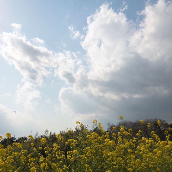 canola flower Spring Flower And Sky Scenics Springtime Beauty In Nature Flower Sky Yellow Canolaflower Nature Clouds And Sky Spring Colours Day Japan