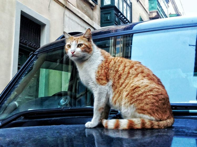 Another cat on a car One Animal Animal Themes Mammal Domestic Cat Pets Window Building Exterior Domestic Animals Feline Cat Built Structure No People Car Sitting Land Vehicle Portrait Outdoors Full Length Architecture Day Lovinmalta Maltese Malta Valletta,Malta Stray Cat