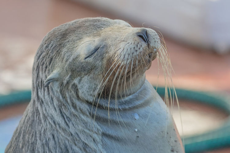 Animal Wildlife Animals In The Wild Eyes Closed  Eyes Closed  Galapagos Mammal No People One Animal Outdoors Puerto Ayora Santa Cruz Galapagos Sea Lion Seal - Animal Seelöwe Sleeping Träumen