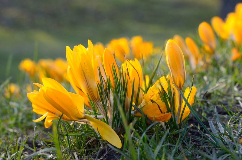 Beauty In Nature Blooming Close-up Crocus Day Field Flower Flower Head Fragility Freshness Grass Green Color Growth Nature No People Outdoors Petal Plant Springtime Yellow