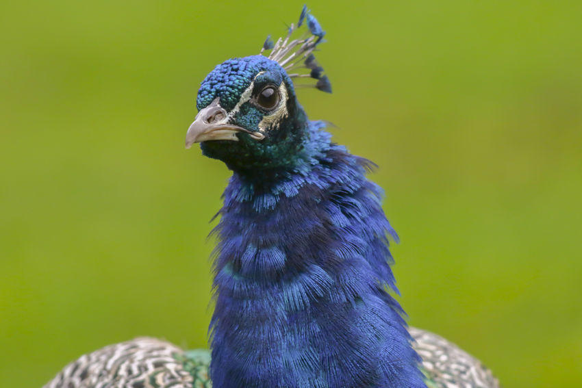 A blue peafowl in wildpark Potzberg near Kusel Blue Peafowl Nature Pavo Cristatus Pheasant Animal Animals World Bird Birds Birds Life Birds World Blue Feather  Feathering Hens Landscape Nature_collection Outdoors Plumage Wildpark