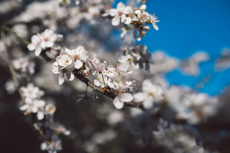 Flowering Plant Flower Fragility Plant Vulnerability  Beauty In Nature Growth Freshness Close-up Blossom Nature Day White Color Tree Selective Focus No People Springtime Cherry Blossom Flower Head Branch Cherry Tree Pollen Outdoors Bunch Of Flowers Spring