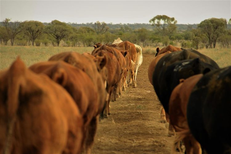 Agriculture Australia Cattle Cattle Station Cattle Truck Cattle Work Cattle Yards Rural Close Up Cows Domestic Animals Farm Farm Animal Field Grass Landscape Livestock Loading Ramp Mustering Animals Nature Outbackaustralia Stockyards Station