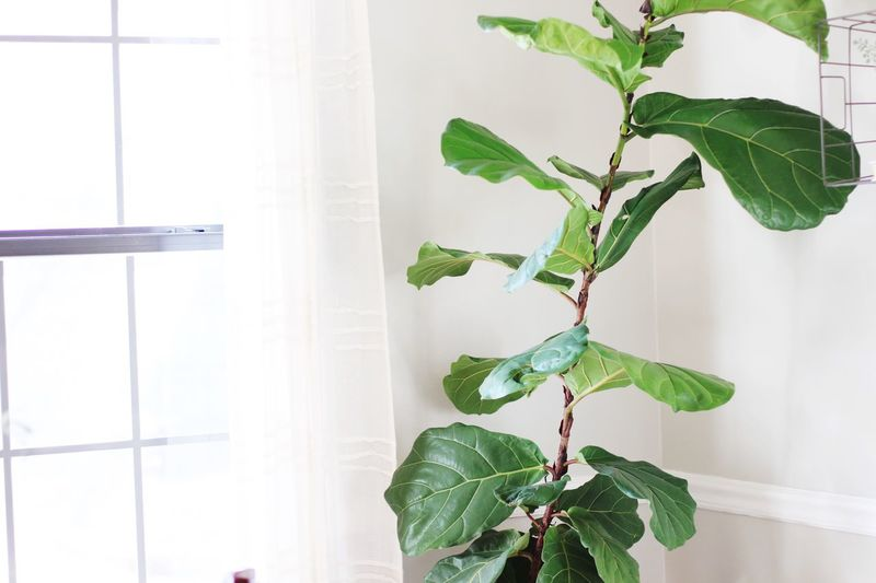 Fiddle leaf fig near window Sunshine Fiddle Leaf Fig Tree. Fiddleleaffig Window Plant Part Growth Plant Window Nature Indoors  Green Color Day No People Architecture Houseplant Leaves Freshness Close-up Beauty In Nature Wall - Building Feature Glass - Material Potted Plant Built Structure