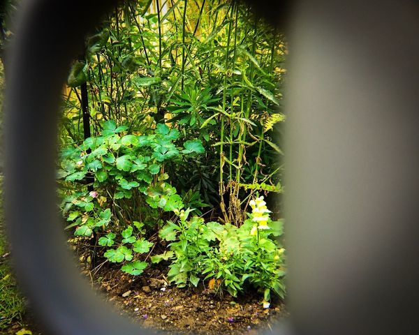 Cup Of Tea Garden Photography Garden Green Color Through Focus On Background Growth Plant Nature No People Day Green Color Outdoors Beauty In Nature Close-up