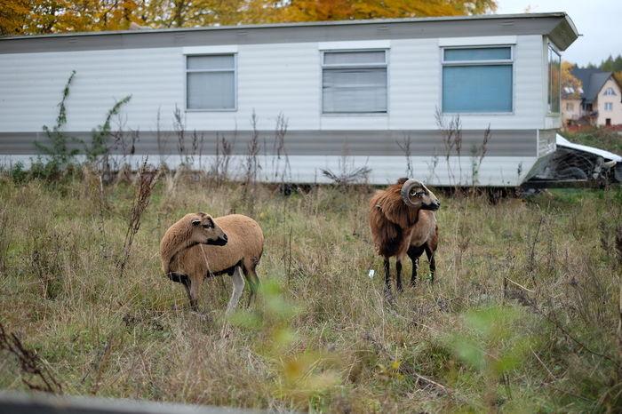 Animal Animal Themes Animals Goat Goats Pets