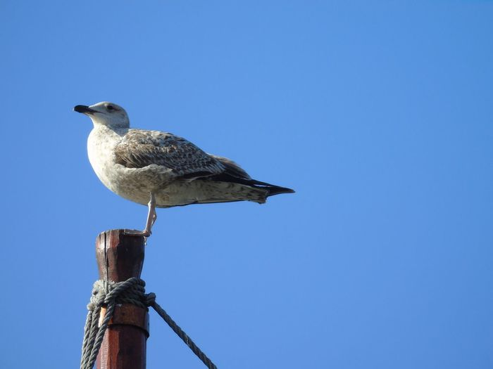 Seagull on a
