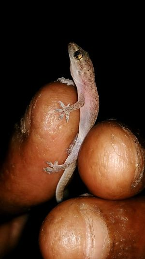 Human Finger Black Background Close-up Reptile Animal Themes One Animal Human Body Part Human Hand Hemidactylus Peace ✌ Photography Eyeemedits Break The Mold