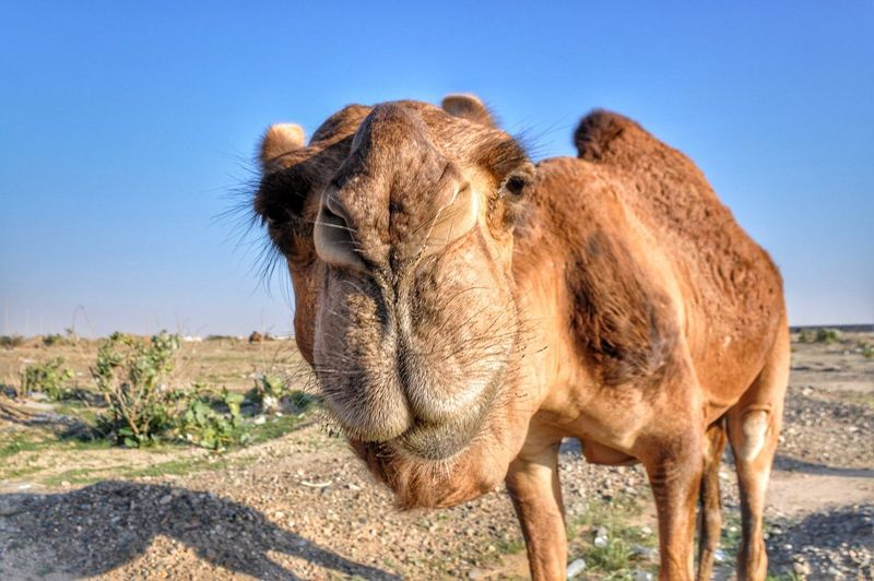 Close-Up Of Camel Against Clear Sky