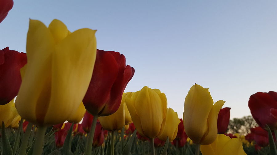 Close-up of yellow tulips on field against sky
