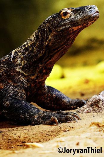 Komodo dragon (Varanus komodoensis) Animals Komodo Komodo Dragon Lizard Nature Reptile Reptilia Varanus Varanus Komodoensis Wildlife