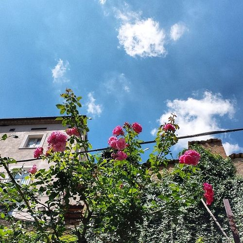 Rosé Roses Anversa Sky blue clouds green picoftheday instaabruzzo instaestate instasummer like beautiful day