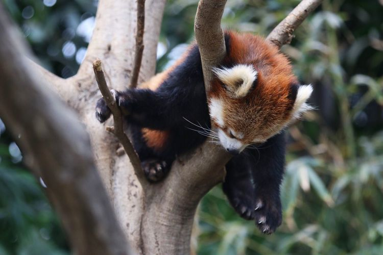 Animal Themes One Animal Day Mammal Red Panda No People Tree Outdoors Animals In The Wild Nature Branch Close-up Climbing Japan Animal Kingdom