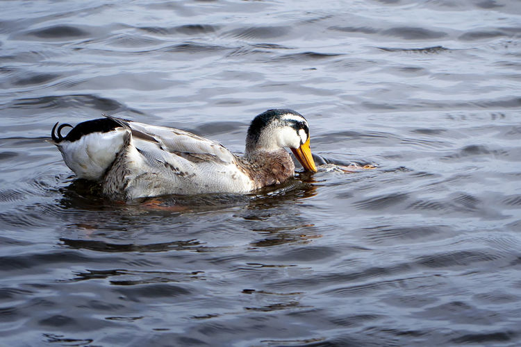 Mating Duck in
