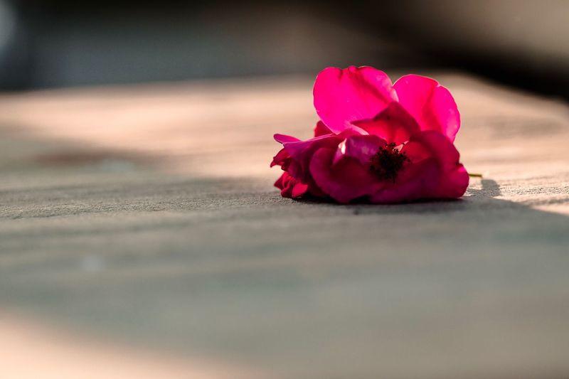 Flower Flower Head Beauty In Nature Rose - Flower Selective Focus Pink Color Nature Nature Photography Bokeh Bokeh Photography Bokehlicious Lovely No People Table Wedding Flowers Flowerporn Flowers,Plants & Garden Flower Photography Breathing Space The Week On EyeEm The Week On EyeEm
