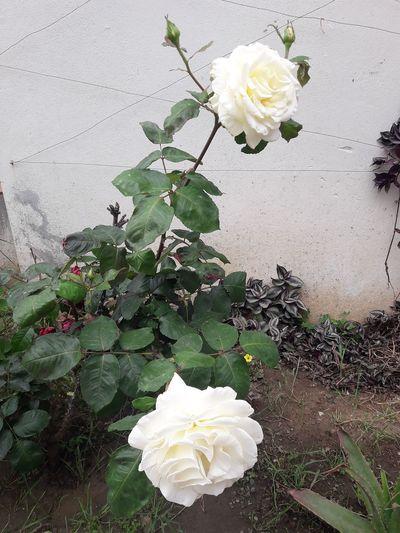 Roses Roses🌹 White Rose White Roses Rosa Rosa Blanca Flower Head Flower Petal Leaf Close-up Blooming Plant Wild Rose Blossom In Bloom Rosé Plant Life Single Rose