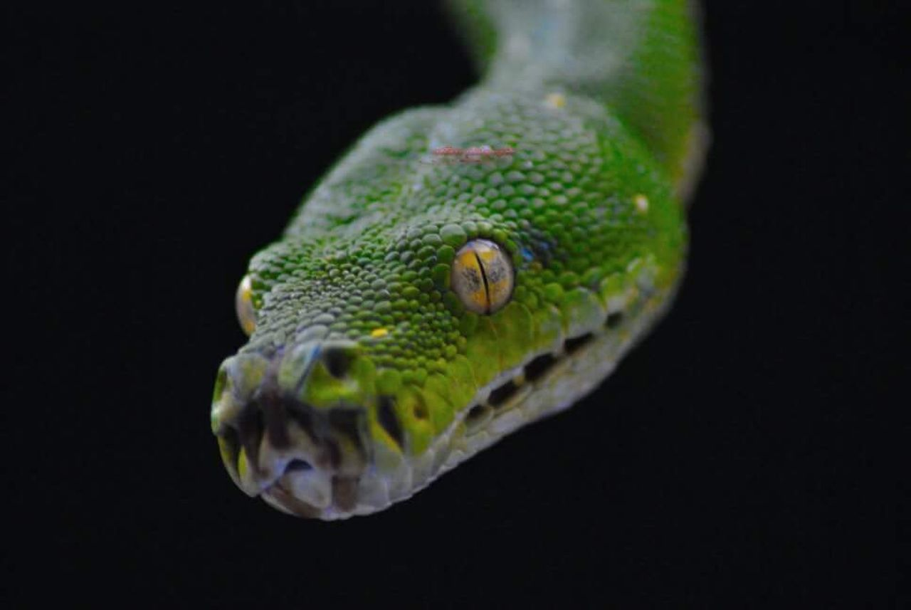 one animal, animal wildlife, black background, close-up, green color, animal themes, animals in the wild, reptile, no people, nature, outdoors, night