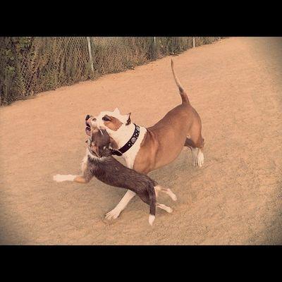 Weeklyfluff Dogtraining Dogsplay Dogoftheday Dogsofinstagram Dogstagram Instgramdogs Instadog Instapets Instagrampuppies Dogsofig Buddies Mightytiny Littledogbigworld Littledog Pitbullsofig Pitbulllove Pitbulladvocate Pitbullsofinstagram Pitstagram Americanstaffordshire Pitbull Floydpup Cooperhound