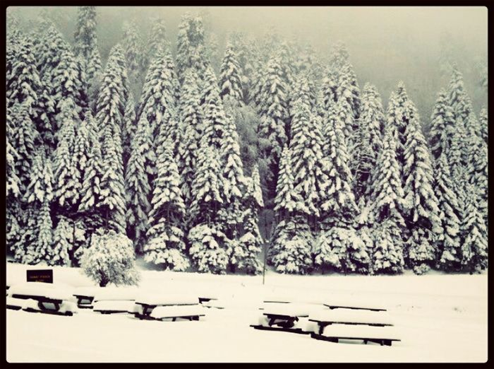 Snow Pinetrees Forest Winter