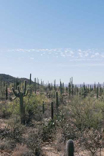 Arizona Cactus Desert Saguaro National Park Arid Climate Beauty In Nature Day Field Growth Landscape Nature No People Non-urban Scene Outdoors Saguaro Saguaro Cactus Scenics Sky Tranquil Scene Tranquility Tree