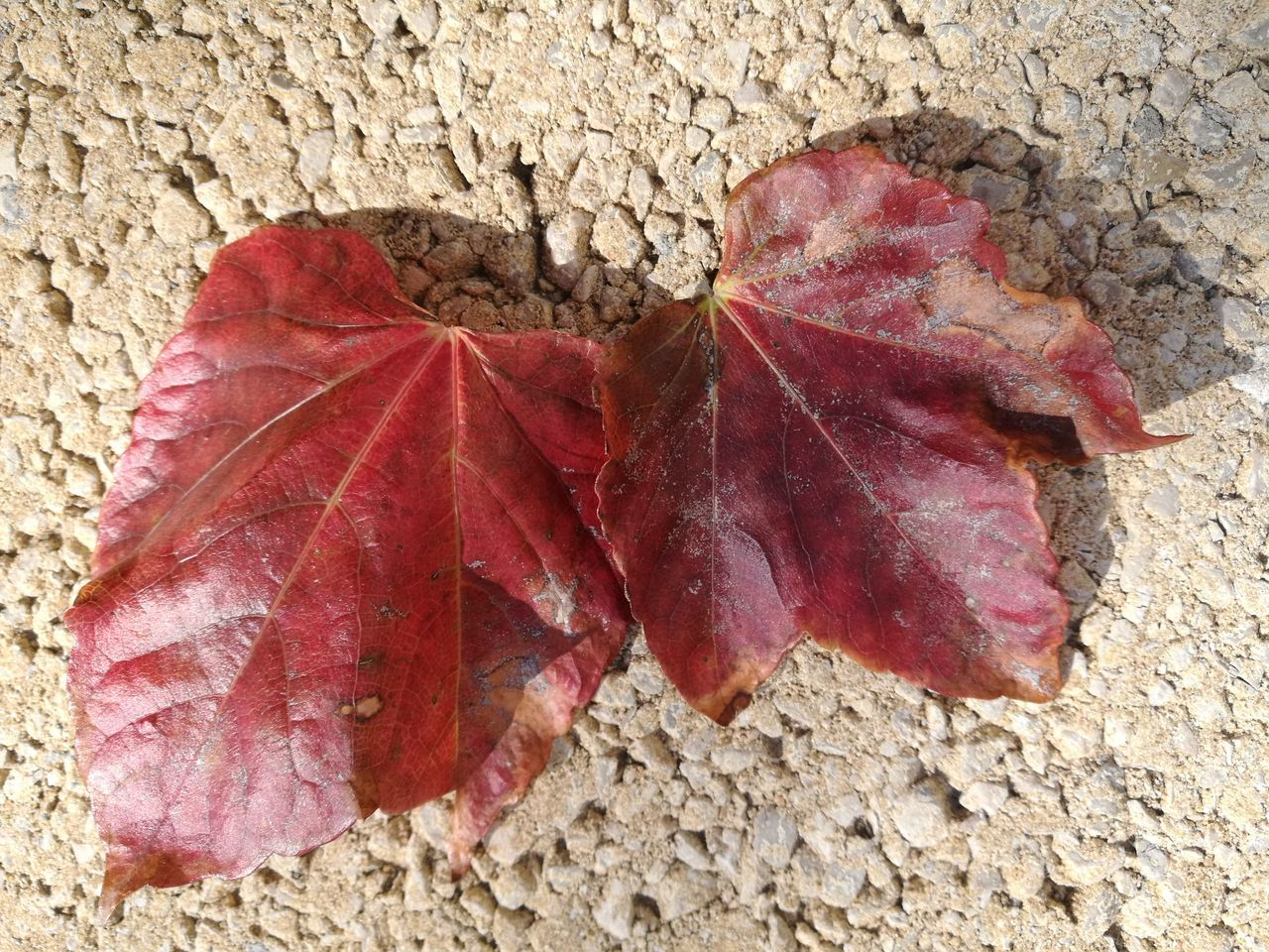 leaf, autumn, change, dry, nature, close-up, fragility, day, outdoors, no people, red, maple, beauty in nature, maple leaf