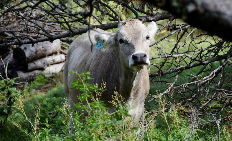 Tiere - Animals Animal Themes Animal Wildlife Kühe Auf Der Weide Kalb Rinder Kuh Neugieriges Kälbchen Cows Animals In The Wild Frankreich Urlaub