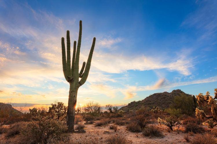 Scenic desert landscape with saguaro cactus at sunset in phoenix, arizona.