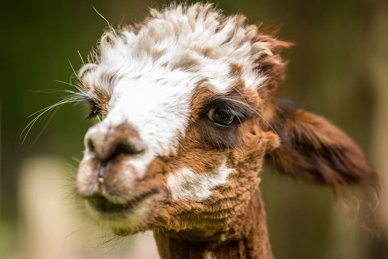 Adorable Alpaca Animal Themes Close-up Cute Animals Domestic Animals FUNNY ANIMALS Funny Faces Livestock Llama Mammal Nature No People One Animal Portrait Shallow Depth Of Field Sweet Expression