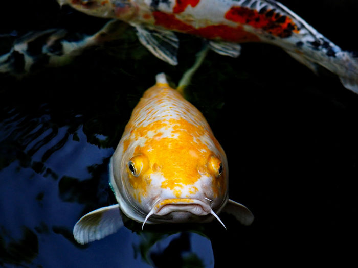 Animal Themes Animal Wildlife Animals In The Wild Aquarium Close-up Day Fish Koi Fish Nature No People One Animal Outdoors Sea Life Swimming UnderSea Underwater Water Yellow Fresh On Market 2017