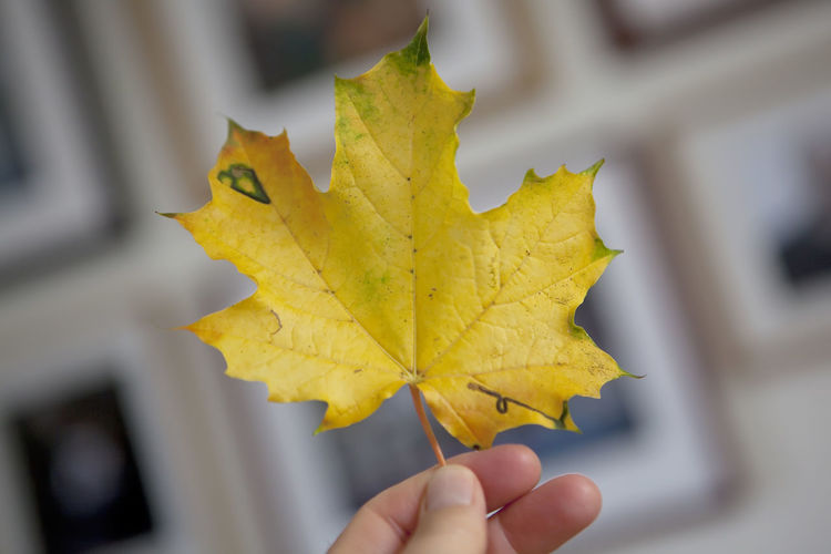 Close-up of yellow hand holding maple leaf