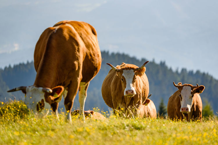 Cows on a meadow in alps austria. schockl mountain above graz place to visit. cattle graze