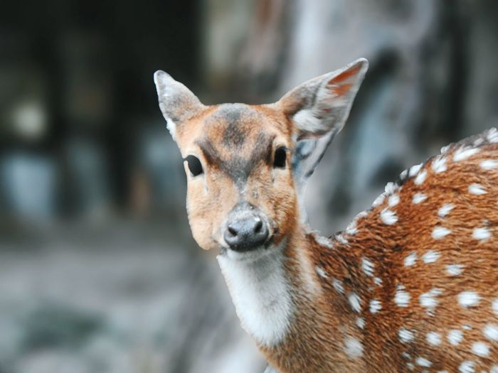 Another polkadots One Animal Animal Themes Animal Animals In The Wild Focus On Foreground Mammal Animal Wildlife Animal Body Part Day Looking At Camera Deer Portrait Nature Brown Outdoors Animal Head  Vertebrate No People Close-up Fawn