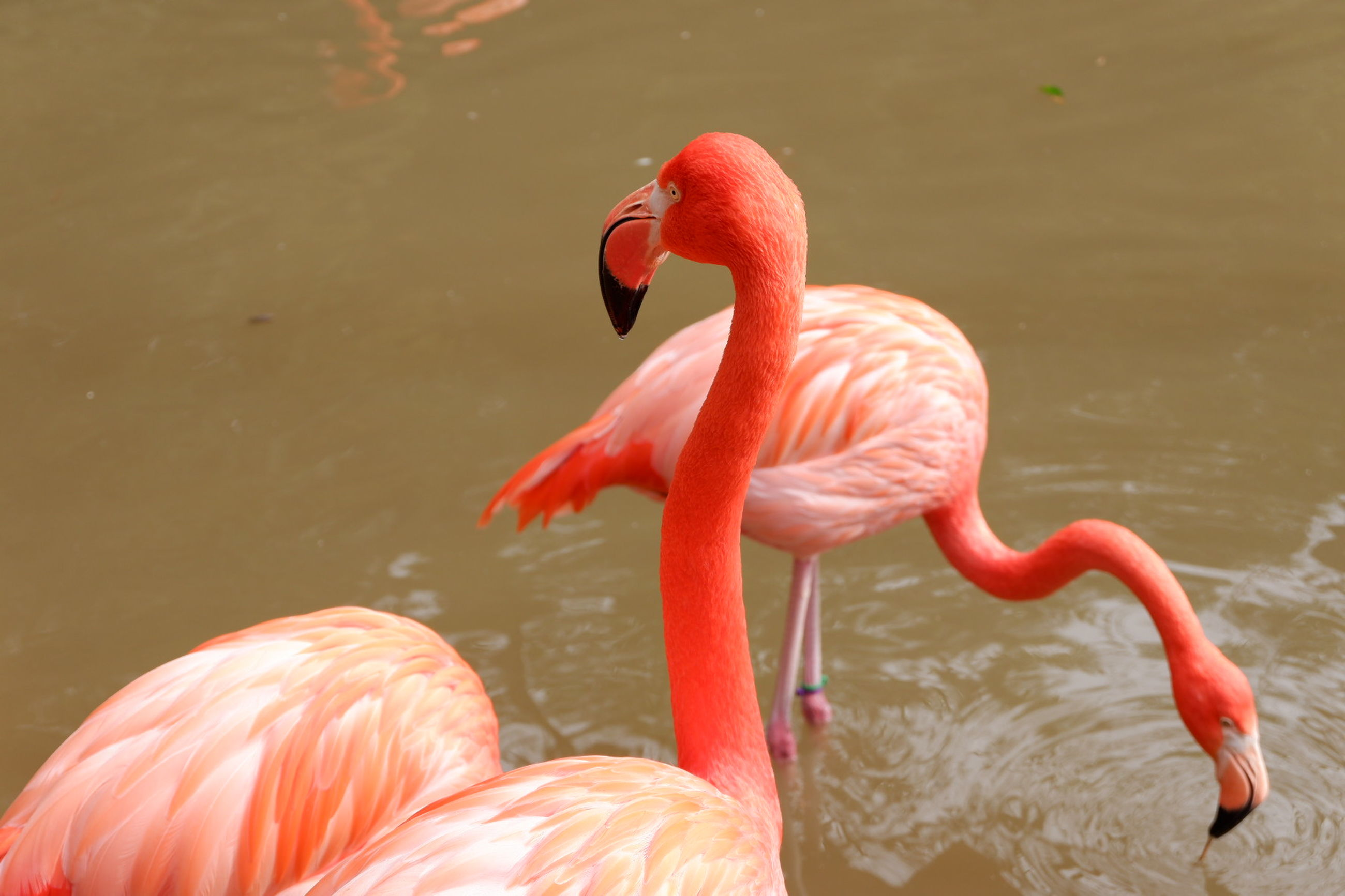 bird, animals in the wild, animal themes, animal, flamingo, animal wildlife, vertebrate, water, lake, group of animals, no people, day, pink color, orange color, nature, animal neck, animal body part, beauty in nature, beak, freshwater bird