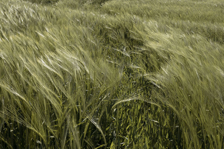 Agriculture Backgrounds Beauty In Nature Cereal Plant Crop  Day Environment Farm Field Full Frame Gentle Wind Grass Growth Land Landscape Nature No People Outdoors Plant Plantation Rural Scene Scenics - Nature Stalk Wheat
