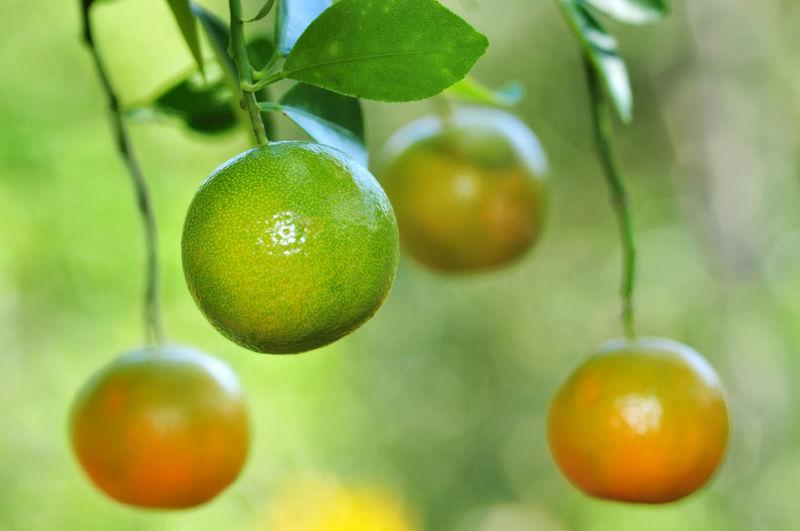 Orange on tree Tree Fruit Hanging Citrus Fruit Branch Agriculture Leaf Close-up Food And Drink Green Color