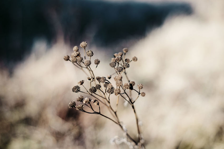Beauty In Nature Day Dead Plant Flower Flower Head Flowering Plant Focus On Foreground Fragility Freshness Growth Nature No People Outdoors Plant Plant Stem Selective Focus Tranquility Vulnerability  White Color Wilted Plant