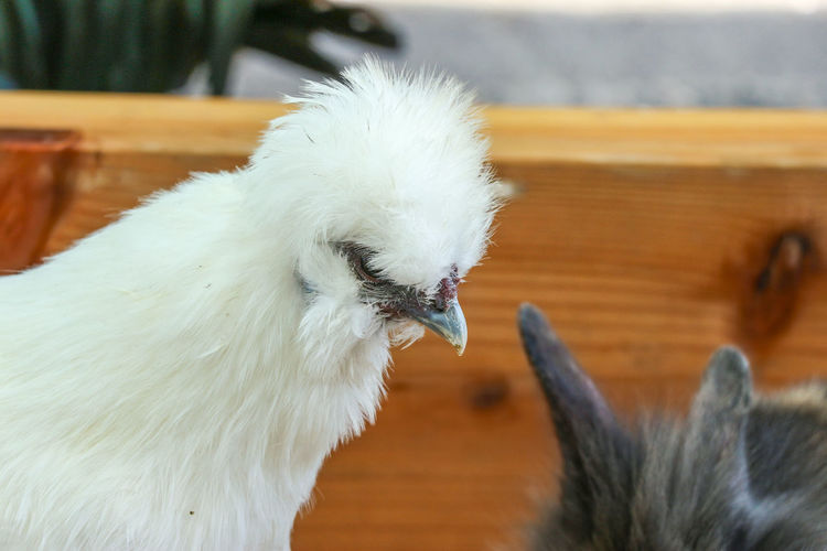 Hair Organic Free Life Style Art Green Pet Breed Domestic White Funny Fluffy Farm Silkie Cute Background Animal Young Grass Bird Bantam Portrait Plumage Nature Chick Beak Hen Fur Rooster Small Fowl Poultry Face Chicken Feather  Garden Mammal Wildlife Outdoor Rural Adorable Furry Family Black Beauty Day Park HEAD Wild