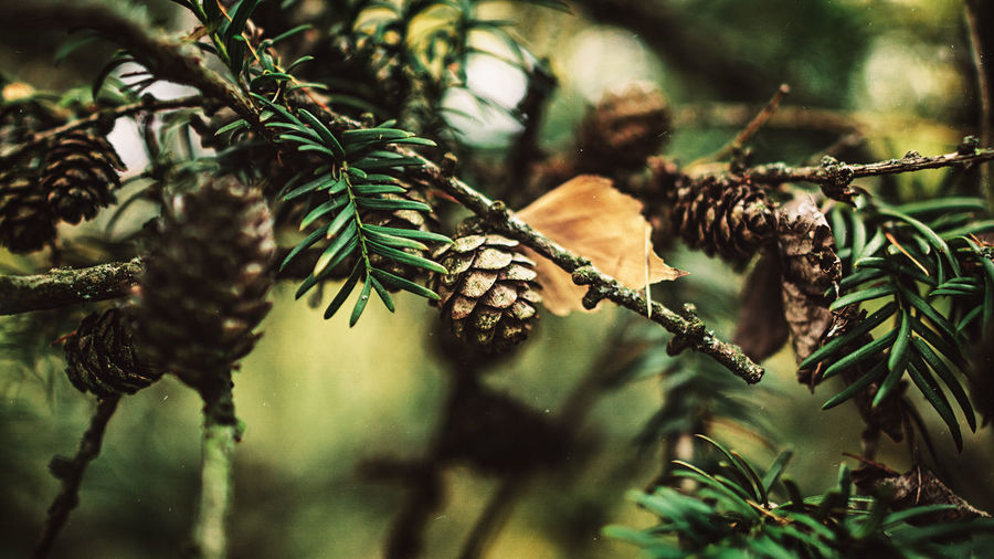 20181023 - Cone Plant Growth Close-up Tree Selective Focus Focus On Foreground Beauty In Nature No People Green Color Day Branch Nature Leaf Pine Cone Plant Part Tranquility Outdoors Pine Tree Coniferous Tree Brown Needle - Plant Part Cone Autumn Mood Nature Garden
