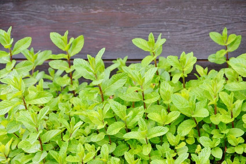 Green Color Plant Food And Drink Leaf Plant Part Freshness No People Growth Food Nature Herb High Angle View Close-up Day Outdoors Beauty In Nature Sage Healthy Eating Backgrounds Full Frame Menta Peppermint Plant