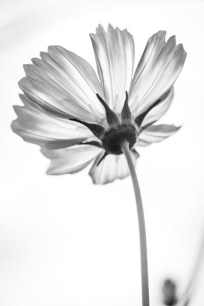 cosmos Flower Flower Head Single Flower Nature Monochrome Oldlens Industar61 Bnw Bnwphotography コスモス 秋桜