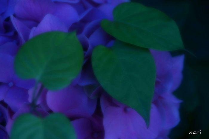 海の近くに咲いてた紫陽花…お疲れさまでした☺ Hydrangea 紫陽花2015Photo ボケ味ふぇち 葉っぱふぇち Beautiful Flower Flower Collection EyeEm Flower EyeEm Best Shots - Flowers Love_blue Kagoshima Good night🌙明日も頑張ろ~( ´ ▽ ` )ノ