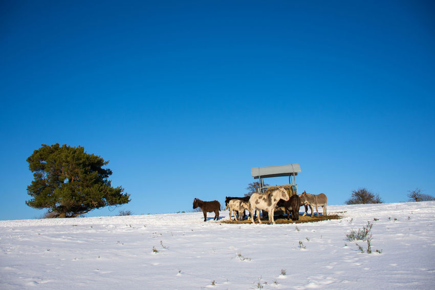 Donkeys Animal Themes Beauty In Nature Clear Sky Cold Temperature Domestic Animals Frozen Nature Landscape Livestock Mammal Nature Outdoors Snow Winter